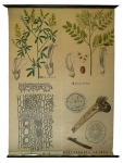 [Fabaceae]. Mélilot, Réglisse, Glycyrrhizza glabra.