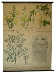 [Fabaceae]. Sarothamnus scoparius Koch., Spatium junceum L., Cytisus laburnum L., Indigofera, Abrus precatorius L.