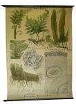[Fougères]. Polypodium vulgare L., Scolopendrium officinalis Smith, [Polystichum] Dryopteris Filix mas Roth.