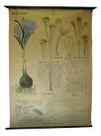 [Iridaceae]. Iridacées : Crocus sativus L., Carthame, Souci, Crocus vernus L.