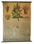 [Labiaceae]. Labiées : Mentha piperita L.