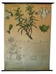 [Labiaceae]. Labiées : Rosmarinus officinalis L.