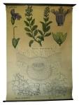 [Labiaceae]. Labiées :Salvia officinalis L.