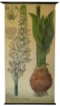 [Liliaceae]. Liliacées : Urginea scilla Steinh.