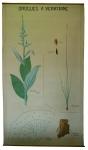[Liliaceae]. Liliacées. Drogues à veratrine : Varaire blanc, Cévadille.