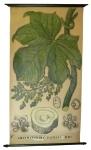 [Menispermaceae]. Chasmanthera palmata H. Bn.