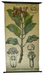 [Myrtaceae]. Myrtacées : Eugenia caryophyllata Thunb.