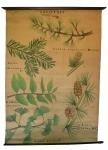 [Pinaceae]. Conifères : Cedrus atlantica Manetti, Abies pectinata DC., Dammara australis, Gingko biloba L., Larix europaea DC.