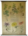 [Ranunculaceae]. Renonculacées : Thal. flov. L., Delphinium staphysagria L., Nig. sat. L., Anémone pusatilla L., Adonis vernalis L., Adonis aestivalis L.
