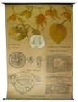 [Rutaceae]. Rutacées. Citrus : Citrus aurantium, Citrus limonum, Citrus decumana, Citrus Bigaradi, Citrus bargamia, Citrus medica, Fleur d'oranger, Ecorce d'orange amère, Feuille d'oranger.
