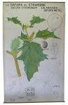 [Solanaceae]. Solanées. Solanacées : Le Datura du stramoine. Datura stramonium, Datura metel.