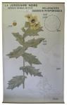 [Solanaceae]. Solanées. Solanacées :La Jusquiame noire. Hyoscyamus niger et Duboisia myoporoides.