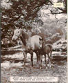 Printed Card - Finished photographic calendar. Image depicts a horse and her foal walking between some trees.