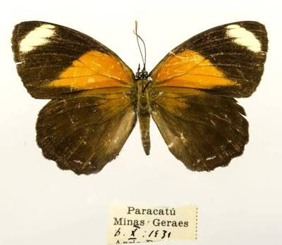 Pleštekė (Callicore astarte)