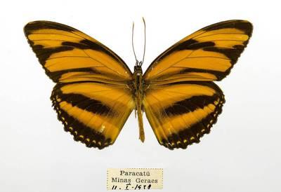 Pleštekė (Dryadula phaetusa)