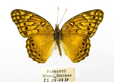 Pleštekė (Euptoieta hegesia)