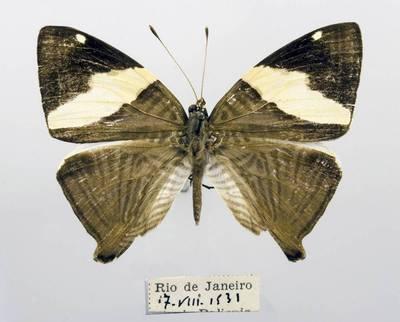 Pleštekė (Colobura dirce)