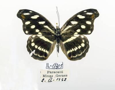 Pleštekė (Catonephele acontius)