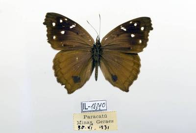 Pleštekė (Eunica cuvierii)