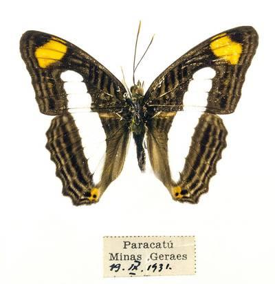 Pleštekė (Adelpha iphiclus)