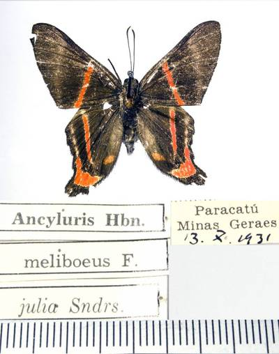 Margūnas (Ancyluris meliboeus julia)