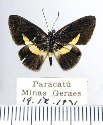 Margūnas (Stichelia sagaris)