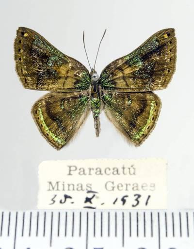 Margūnas (Caria castalia)