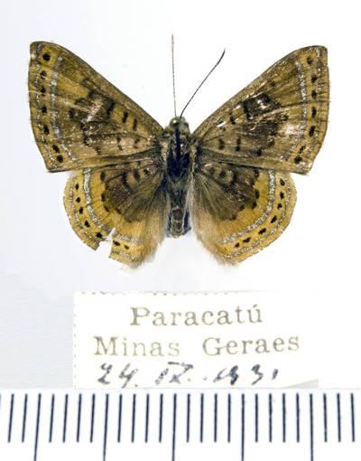 Margūnas (Chalodeta chaonitis)