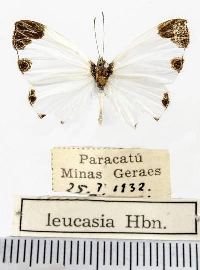 Margūnas (Nymphidium leucosia)