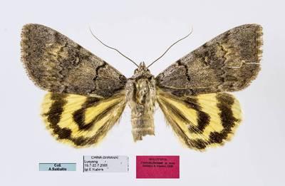 Peteliškė (Catocala florianii)