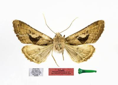 Phlogophora jarmilae