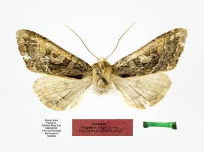 Phlogophora kriugeri