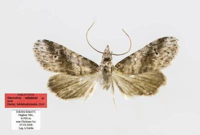 Stenosticta wiltshirei