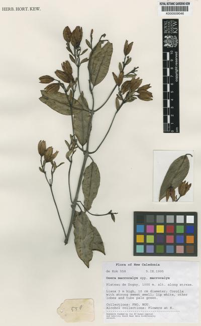 Oxera macrocalyx Dubard