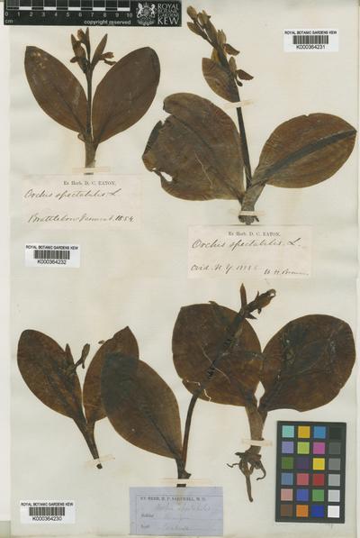 Galearis spectabilis L.