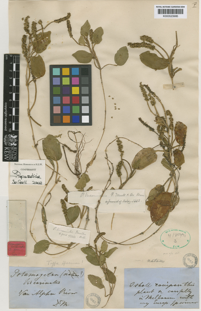 Potamogeton tricarinatus F.Muell. & A.Benn.