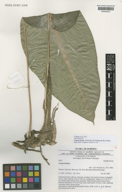 Scaphochlamys calcicola A.D.Poulsen & R.J.Searle