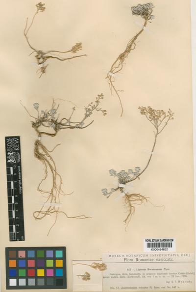 Alyssum borzaeanum Nyar.