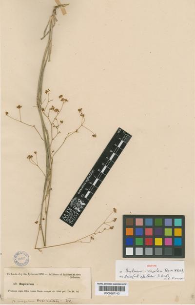 Bupleurum falcatum L. subsp. exaltatum (M. Bieb.) Briq.