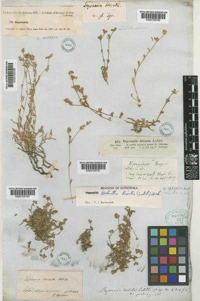 Bolanthus hirsutus (Labill.) Barkoudah