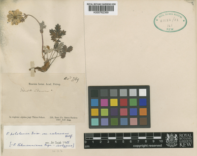 Potentilla hololeuca Boiss. var. calvescens Wolf, Th.