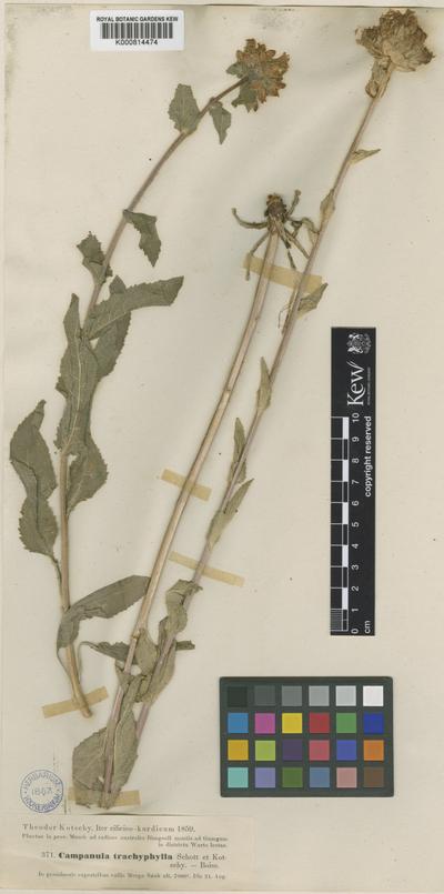 Campanula glomerata Hegetschw.