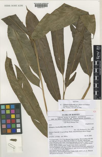 Etlingera brachychila (Ridl.) R.M.Sm. var. vinosa A.D.Poulsen