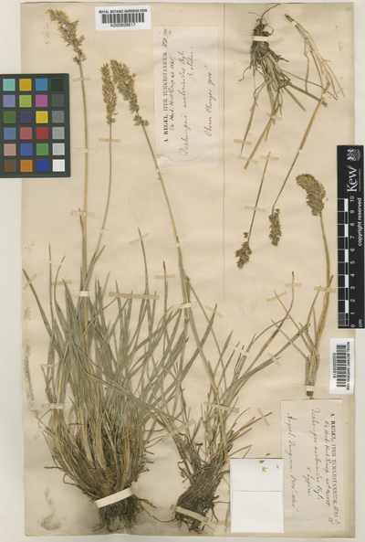 Deschampsia koelerioides Regel