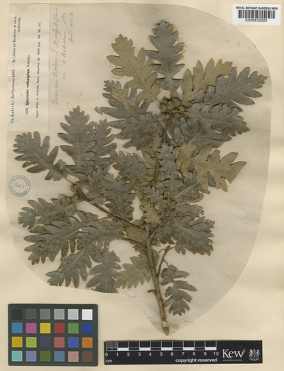 Quercus petraea (Matt.) Liebl.
