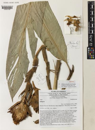 Etlingera facifera A.D.Poulsen