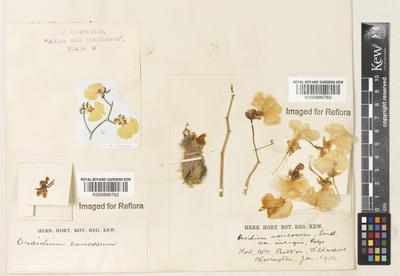 Oncidium varicosum Lindl. var. insigne Rolfe