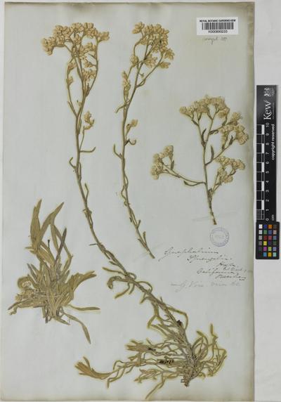Gnaphalium sprengelii Hook. & Arn.