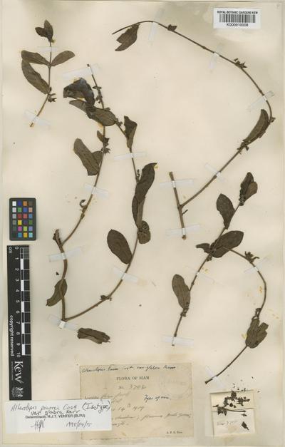 Atherolepis pierrei Costantin