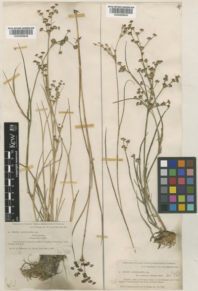 Juncus articulatus L.